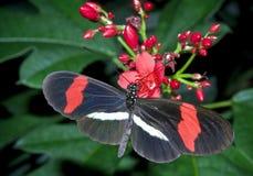 liconius erato χ δ πεταλούδων mophoon Στοκ Φωτογραφίες
