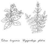 Licorice and bergamot hand drawn. Object isolated on white. Licorice and bergamot hand drawn. Herbs with lettering in latin. Object isolated on white Stock Photo