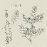 Licorice botanical isolated illustration. Plant, leaves, root, flowers hand drawn set. Vintage outline sketch. Royalty Free Stock Image