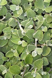 Licorice Plant royalty free stock images