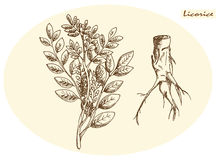 Licorice root and licorice royalty free stock image