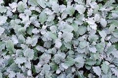 licoriceväxtväxter Royaltyfria Foton