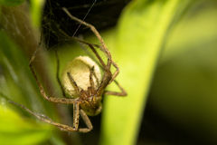 Licosidae spider caring her cocoon with youngs Royalty Free Stock Images