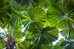 Licuala fan palmy Zdjęcie Royalty Free
