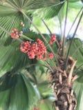 Licuala grandis或瓦努阿图扇形棕榈或Palas棕榈果子  免版税库存照片
