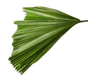 Licuala grandis or Ruffled Fan Palm leaf, Large tropical foliage, Pleated leaf isolated on white background Stock Images