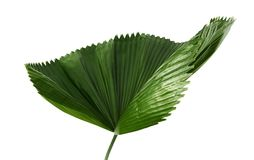 Licuala grandis or Ruffled Fan Palm leaf, Large tropical foliage, Pleated leaf isolated on white background, with clipping path. Licuala grandis or Ruffled Fan Royalty Free Stock Images