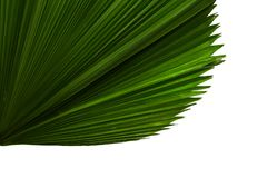 Licuala grandis or Ruffled Fan Palm leaf, Large tropical foliage, Pleated leaf isolated on white background, with clipping path. Licuala grandis or Ruffled Fan Stock Images