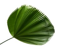 Licuala grandis or Ruffled Fan Palm leaf, Large tropical foliage, Pleated leaf isolated on white background, with clipping path. Licuala grandis or Ruffled Fan Stock Photography