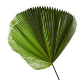 Licuala grandis or Ruffled Fan Palm leaf, Large tropical foliage, Pleated leaf isolated on white background Stock Image