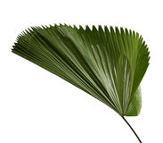 Licuala grandis or Ruffled Fan Palm leaf, Large tropical foliage, Pleated leaf isolated on white background Stock Photography