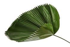 Licuala grandis or Ruffled Fan Palm leaf, Large tropical foliage, Pleated leaf isolated on white background Stock Image