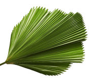 Licuala grandis or Ruffled Fan Palm leaf, Large tropical foliage, Pleated leaf isolated on white background. With clipping path Stock Photos