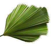 Licualagrandis of het Verstoorde Ventilatorpalmblad, Groot tropisch die gebladerte, plooiden blad op witte achtergrond wordt geïs stock foto's