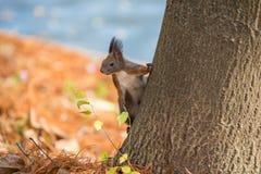 Śliczna ciekawa czerwona wiewiórka na drzewie Zdjęcia Stock