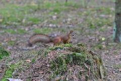 Śliczna ciekawa wiewiórka na fiszorku w drewnach zdjęcia stock