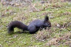 Śliczna czarna wiewiórka Obraz Royalty Free