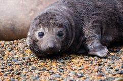 śliczna dziecko foka Fotografia Royalty Free