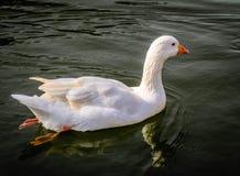 śliczna kaczka Zdjęcie Stock