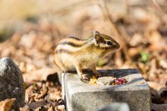 Śliczna lettel wiewiórka zdjęcie stock