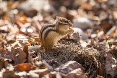 Śliczna lettle wiewiórka fotografia stock