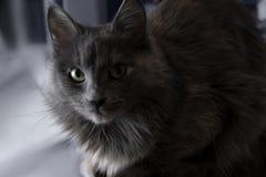 Śliczna piękna popielata kota indoors połówka w cieniu Zdjęcia Stock