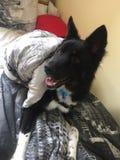 ?liczna psia patrzeje kamera zdjęcia royalty free