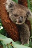 Śliczna pyzata koala relaksuje na drzewie Obrazy Royalty Free