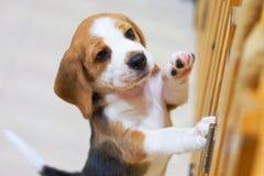 Śliczna szczeniaka Beagle pozycja dla sztuki Zdjęcie Royalty Free