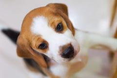 Śliczna szczeniaka Beagle wspinaczka dla sztuki Zdjęcia Royalty Free