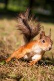 Śliczna wiewiórka zdjęcia stock