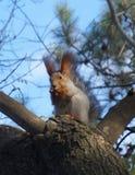 Śliczna wiewiórka Obrazy Royalty Free