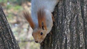 Śliczna wiewiórka Zdjęcia Royalty Free