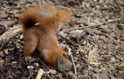 Śliczna wiewiórka Zdjęcie Stock