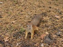 Śliczna wiewiórka Obraz Stock