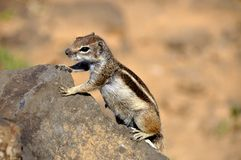 Śliczna wiewiórka na skale Fotografia Stock