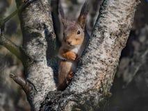 Śliczna wiewiórka V Zdjęcia Royalty Free