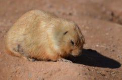 Śliczna Zmielona wiewiórka Grzebie w brudzie Zdjęcia Royalty Free