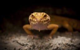 Śliczne jaszczurek pozy dla kamery Zdjęcia Stock