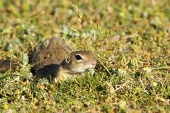 Ślicznego europejczyka zmielona wiewiórka w naturalnym siedlisku Fotografia Stock