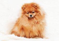 Ślicznego szczeniaka pomeranian pies Zdjęcia Stock