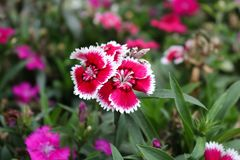Ślicznego zmrok menchii dianthus Japonicus kwiat, William, Dianthus barbatus Obrazy Royalty Free