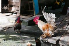 Śliczni Bantam kurczaki Fotografia Royalty Free