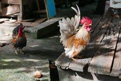 Śliczni Bantam kurczaki Zdjęcia Royalty Free