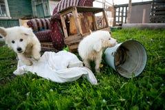 Śliczni bielu psa szczeniaki Obraz Royalty Free