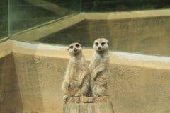 Śliczni meerkats Obraz Royalty Free