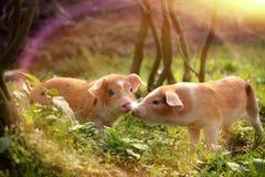 Śliczni prosiaczki bawić się z each inny w farmyard Obrazy Royalty Free