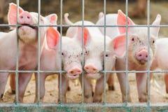 Śliczni prosiaczki na gospodarstwie rolnym Obraz Stock