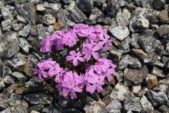Śliczni purpura kwiaty Obraz Royalty Free