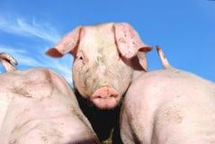 śliczni świniowaci potomstwa Obrazy Stock